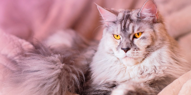 gato maine coon reposando