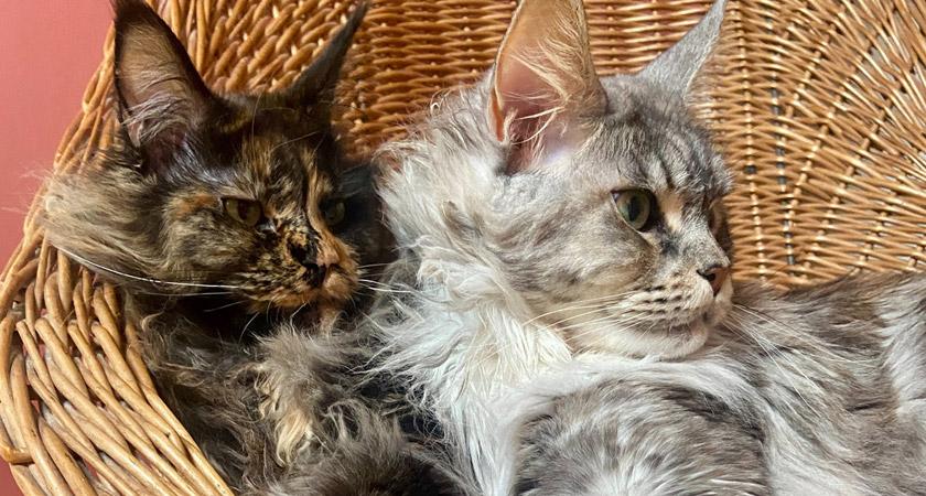 Conociendo al gato Maine Coon: un noble gigante
