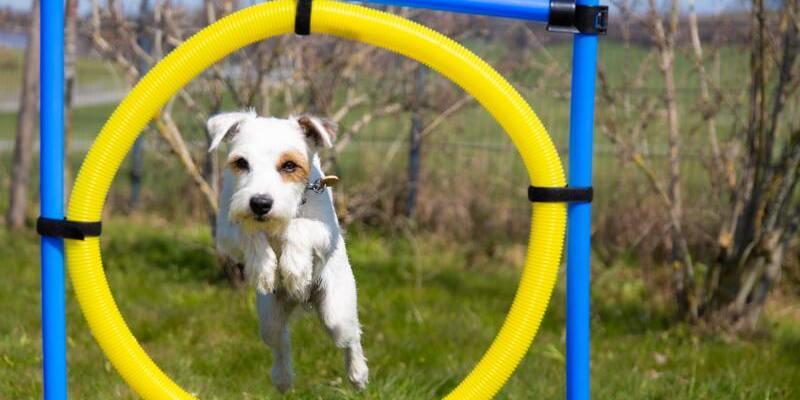 perro saltando por aro de agility