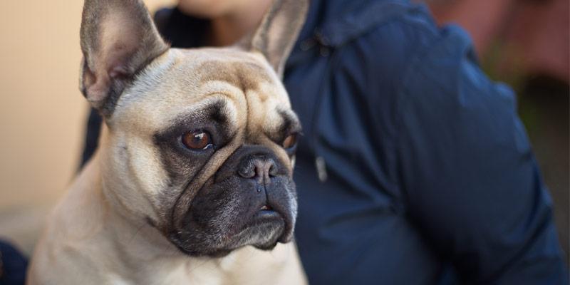 perro raza bulldog francés color claro