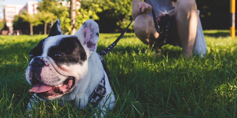 perro raza bulldog francés blanco con negro en el pasto