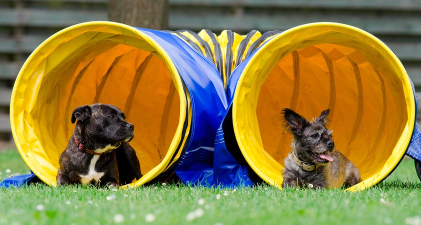Deporte canino: descubre el agility