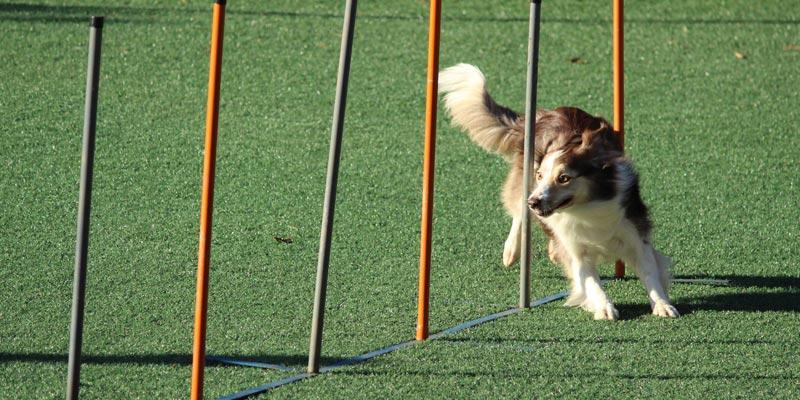 perro esquivando vallas en agility