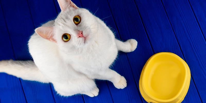 gato blanco con comedero amarillo con fondo azul