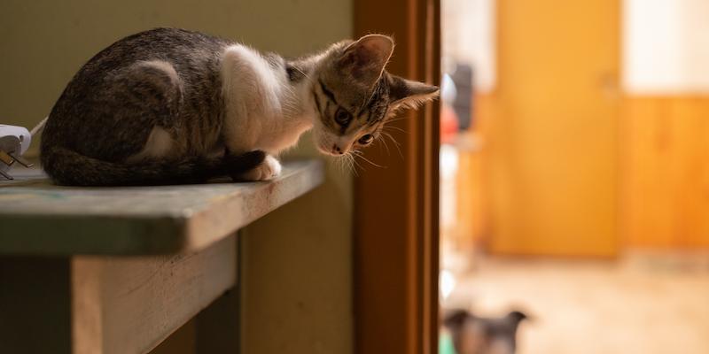 Gato sobre mesón de cocina