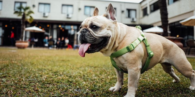 Bulldog francés de pelaje rubio de paseo con arnés