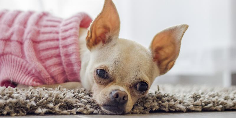 Perro chihuahua café claro con un sweater rosa acostado sobre una alfombra