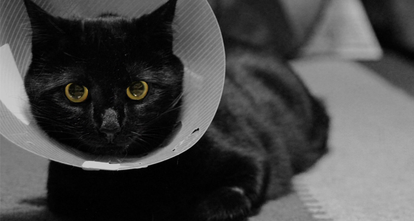 ¿Por qué esterilizar a mi gato o gata?