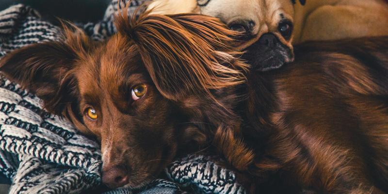 dos perros recostados juntos mirando hacia la cámara