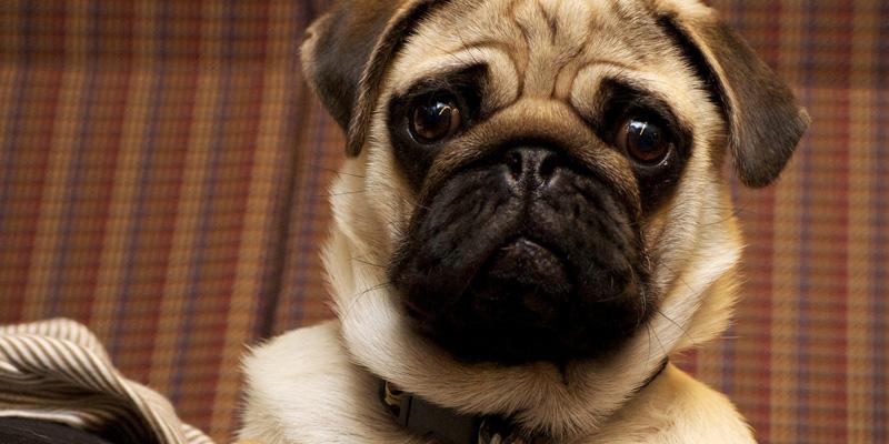 rostro en primer plano de un perro pug