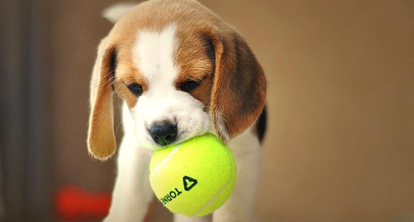 Conociendo la raza de perros Beagle