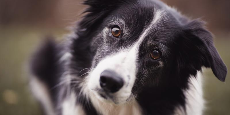 cara de perro border collie