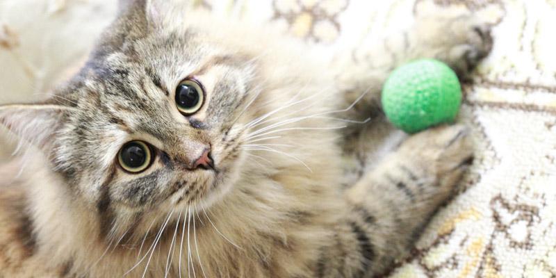 gato jugando con pelota verde