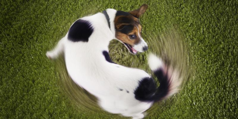 perro girando en sí persiguiéndose la cola