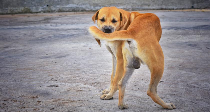 perro color naranjo se muerde la cola