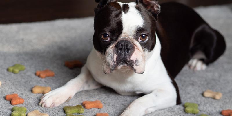 boston terrier acostado en el piso rodeado de pellets tirados