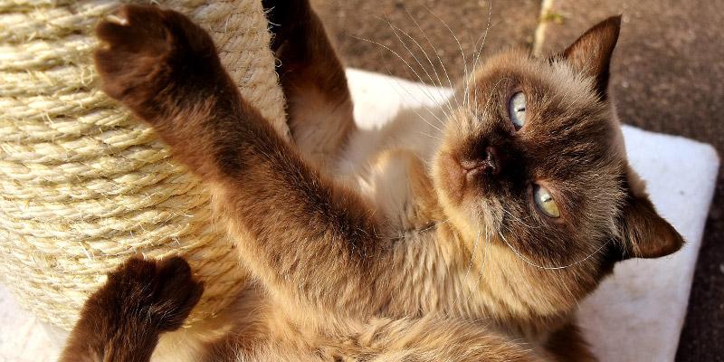 gato siamés jugando con rascador