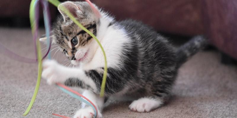 gatito cachorro romano con blanco jugando con hebras de colores