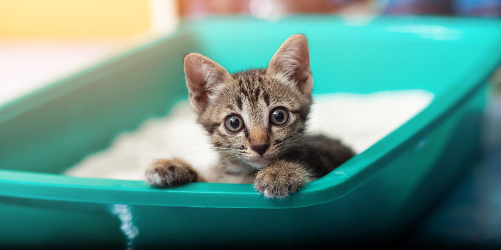 En la imagen aparece un gatito romano asomándose desde dentro de un arenero.
