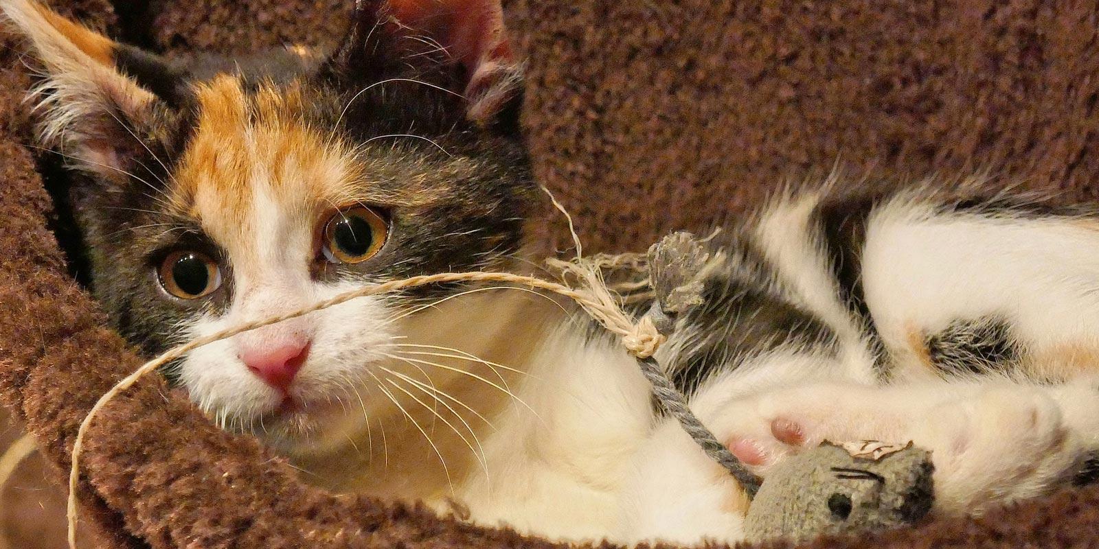 gatito tricolor pequeño recostado con un ratón de juguete al lado