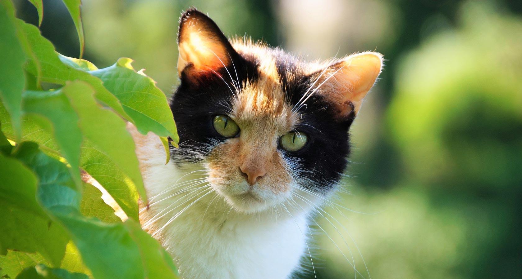 Gatos tricolor: mitos y verdades de estos mininos