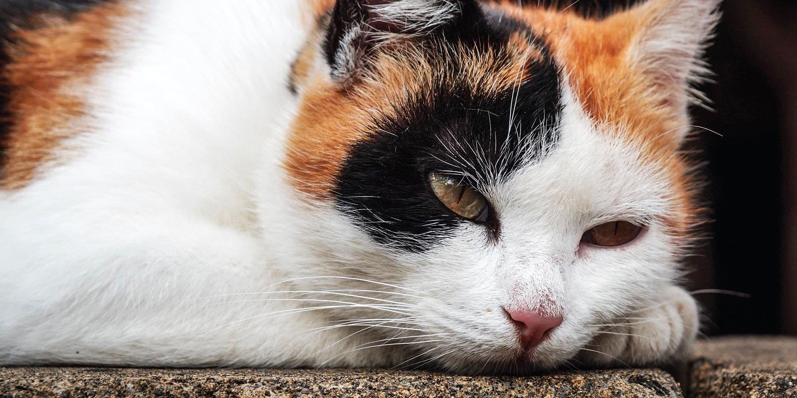 gato calico o tricolor recostado en el piso