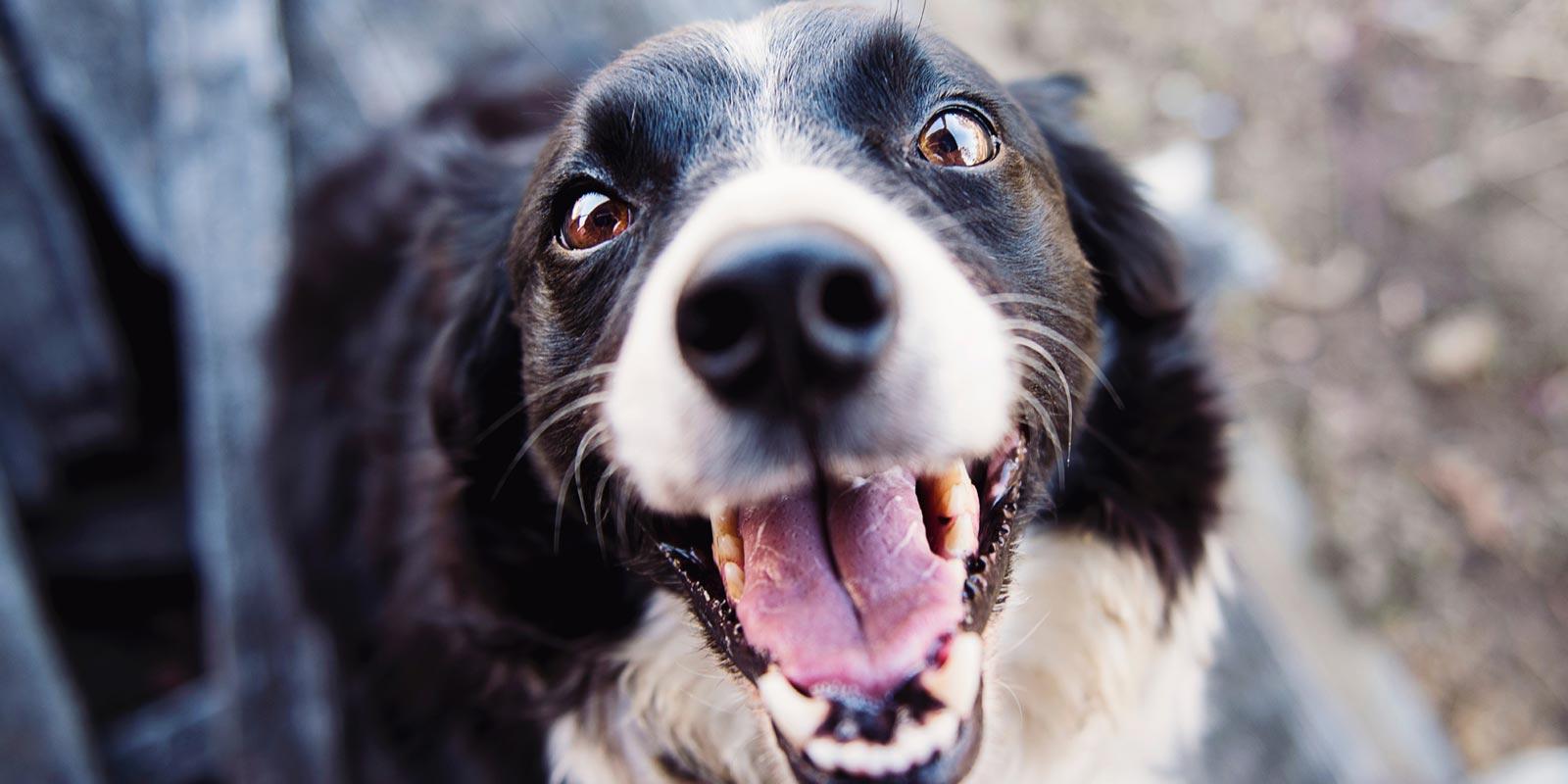 En la imagen se ve la cara de un perro negro con blanco en primer plano, con la lengua asomada.