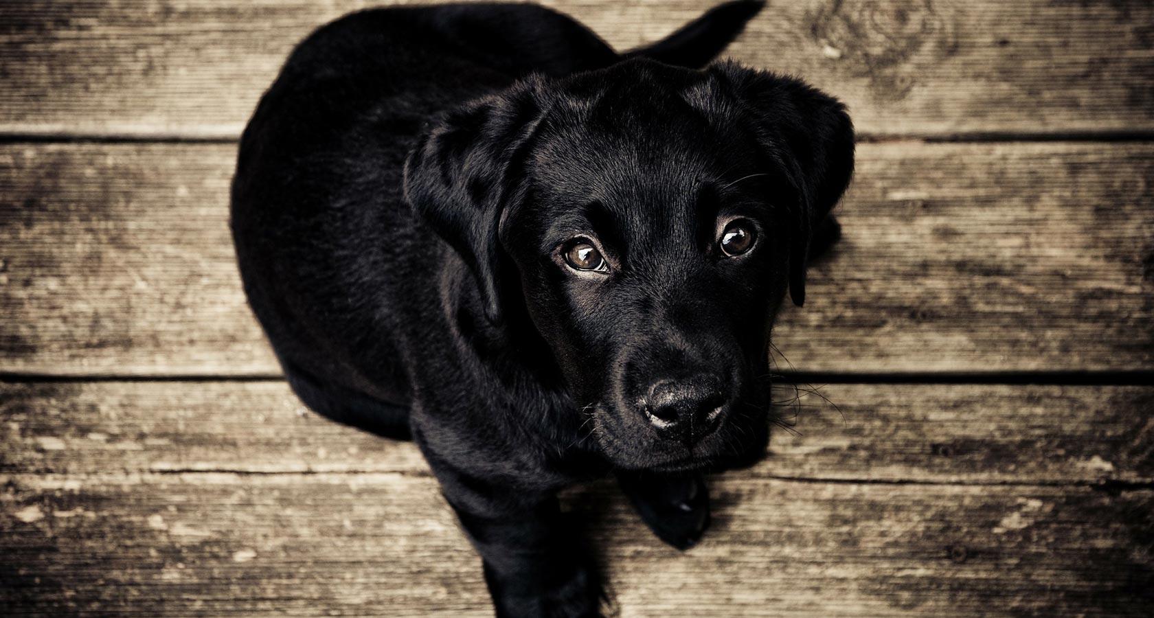 En la imagen se muestra a un cachorro negro mirando desde hacia abajo a la cámara